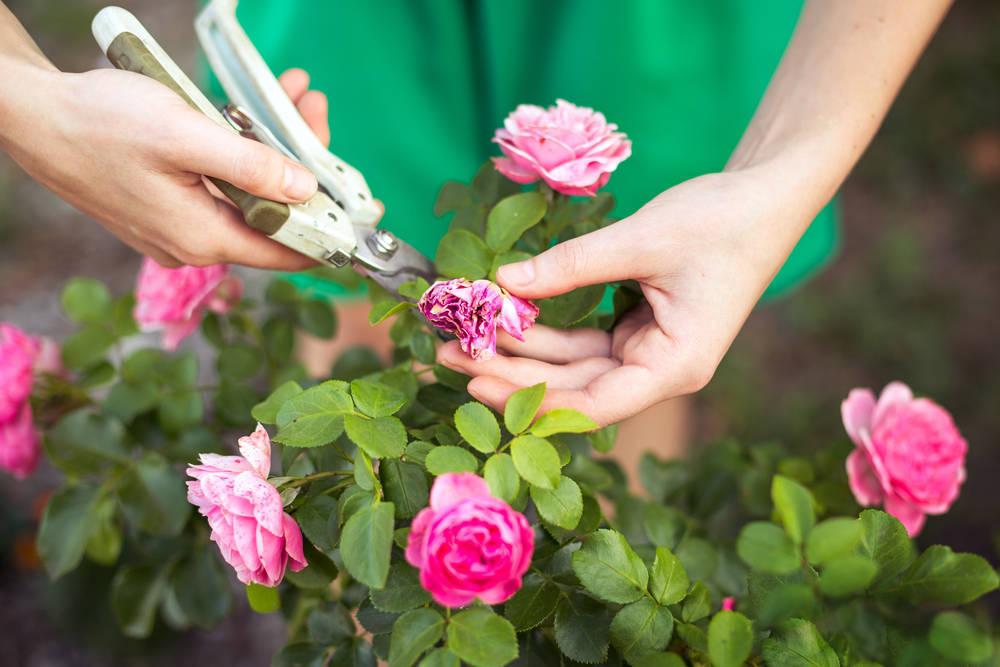 Cómo y cuándo podar los rosales